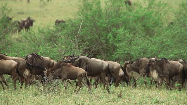 ms blue wildebeest herd walking through savanna during migration in masai mara park / national park, africa, kenya - herbivorous stock videos and b-roll footage