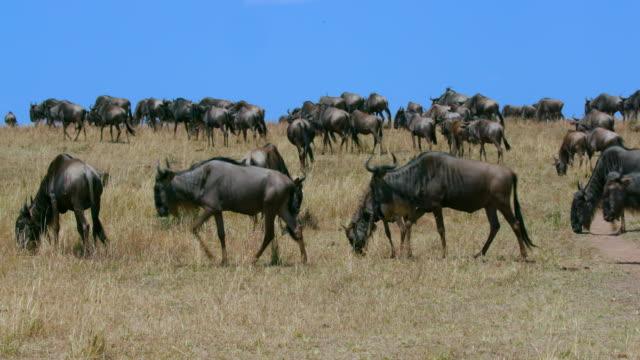 blue wildebeest migrating maasai mara  kenya  africa - antilope stock-videos und b-roll-filmmaterial
