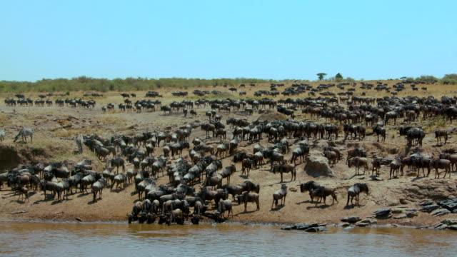 Blue Wildebeest On Bank Of Mara River Maasai Mara  Kenya  Africa
