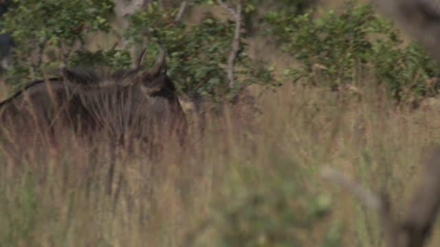 blue wildebeest south africa - one animal stock-videos und b-roll-filmmaterial