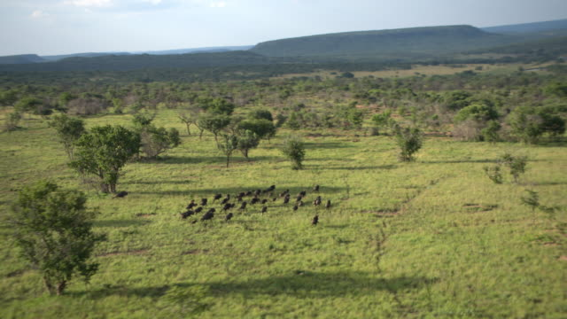 blue wildebeest south africa - south africa stock videos & royalty-free footage