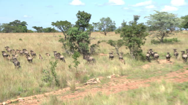 blue wildebeest south africa - wildlife reserve stock videos & royalty-free footage