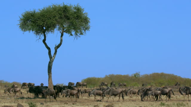 vidéos et rushes de blue wildebeest under tree & walking maasai mara  kenya  africa - troupeau