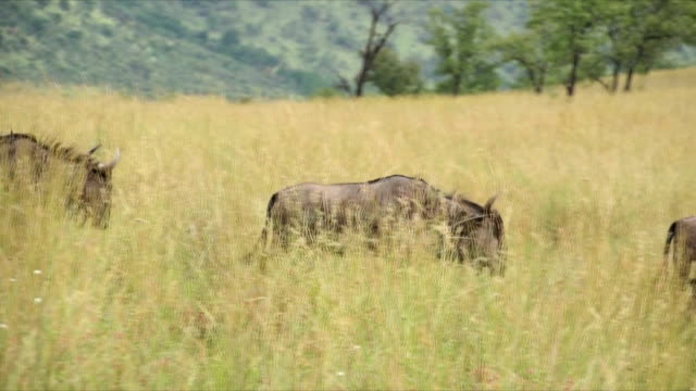 pan ms blue wildebeest walking along grassland / pilanesberg national park/ north west province/ south africa - national grassland stock videos & royalty-free footage