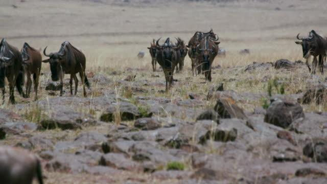 Blue Wildebeest Walking Maasai Mara  Kenya  Africa
