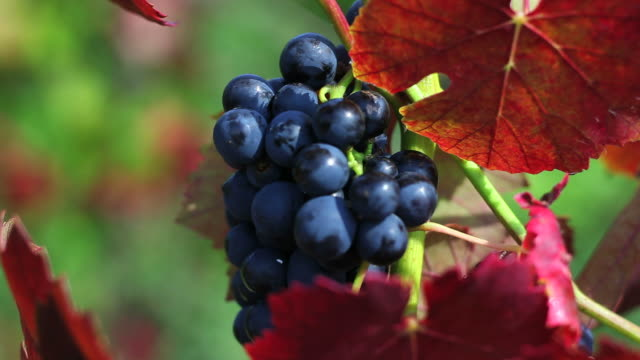 Blue Wine Grapes Close Up (Loopable)