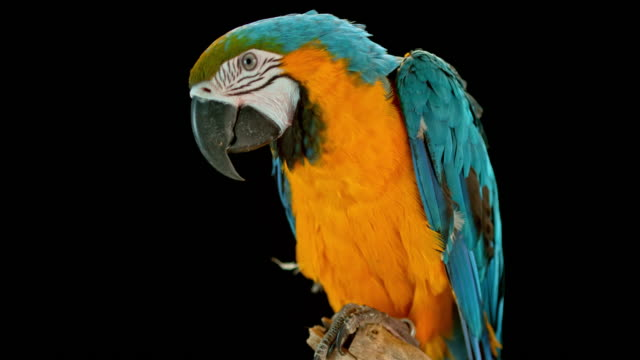 slo mo blue-and-golden macaw sitting on a branch on black background - parrot stock videos & royalty-free footage