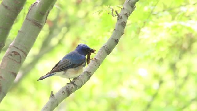 blue-and-white flycatcher bird feeding on bug. - insect stock videos & royalty-free footage