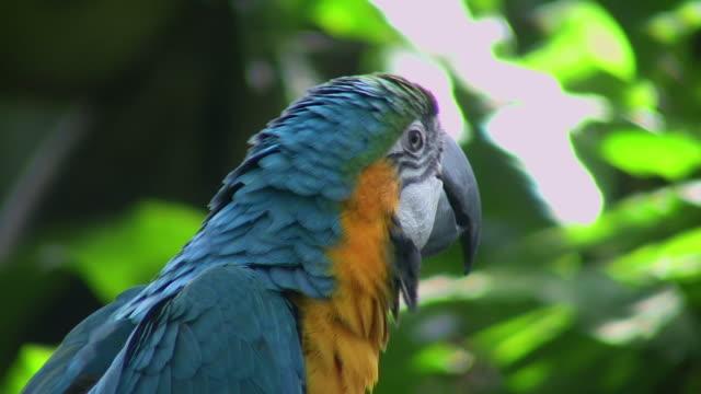 CU, LA, Blue-and-yellow Macaw (Ara ararauna), headshot, Moody Garden, Galveston, Texas, USA