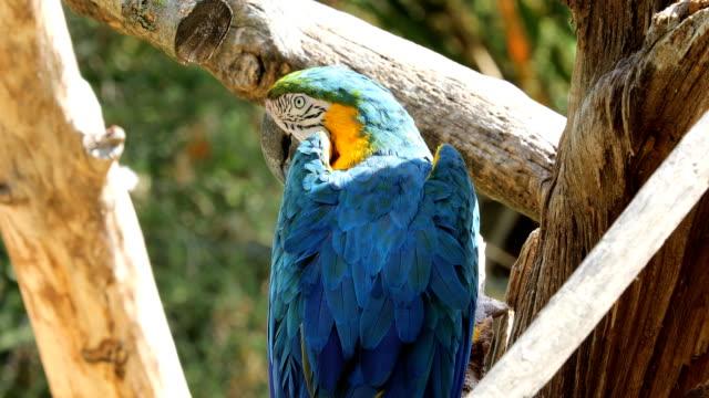 vidéos et rushes de ara bleu et jaune dans l'ombre - plume