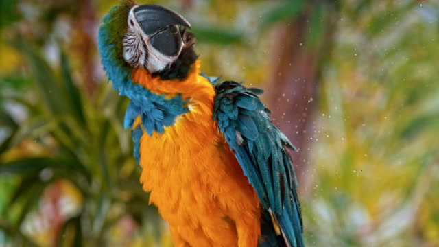 slo mo blue-and-yellow macaw shaking water off while sitting on a branch - shaking stock videos & royalty-free footage