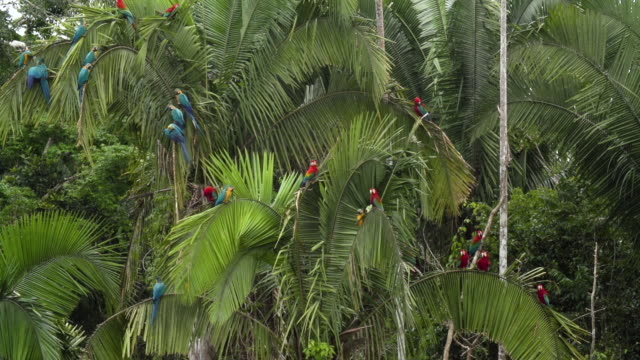 Blue-an-Yellow and Red Macaws Perched in Palm Trees, Wide Static