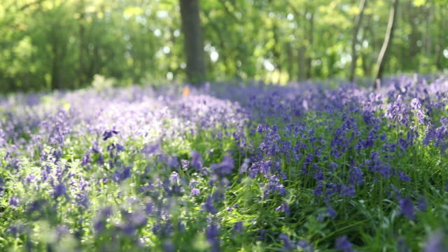 bluebell flowers blooming in forest - swaying stock videos & royalty-free footage