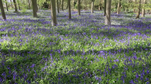Bluebell flowers (Hyacinthoides non-scripta) in English Woodland
