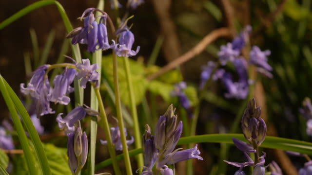 t/l bluebell (hyacinthoides non-scripta) flowers opening, united kingdom, ms - raggomitolato video stock e b–roll