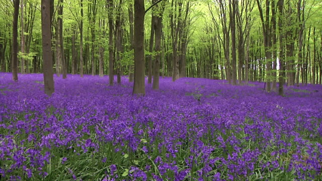 ws pan bluebell forest / wiltshire, united kingdom - wildflower stock videos & royalty-free footage