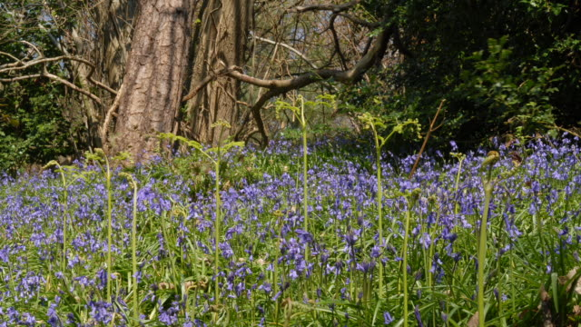 T/L Bluebell (Hyacinthoides non-scripta) shadows, United Kingdom