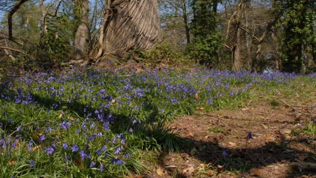 T/L Bluebell (Hyacinthoides non-scripta) shadows, United Kingdom, WA