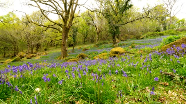 bluebell spring time lapse - dartmoor stock videos & royalty-free footage
