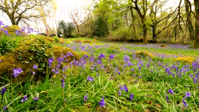bluebell wood time lapse - dartmoor stock videos & royalty-free footage