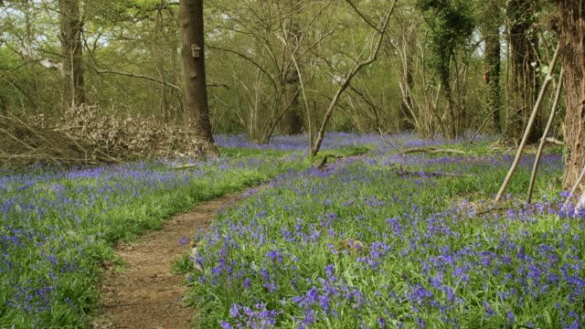 Bluebell woodland in bloom
