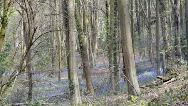 Bluebell woods - dense trees