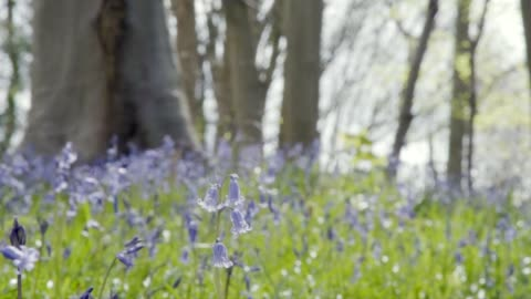 bluebell woods - low shot - focus on near flower - 40 seconds or greater stock videos & royalty-free footage