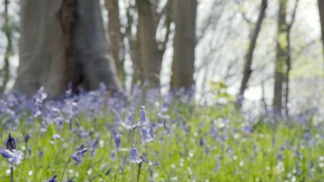 bluebell woods - low shot - focus on near flower - 40 sekunder eller längre bildbanksvideor och videomaterial från bakom kulisserna