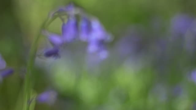 bluebells (hyacinthoides non-scripta) around the roots of a tree, south downs - サウスダウンズ点の映像素材/bロール
