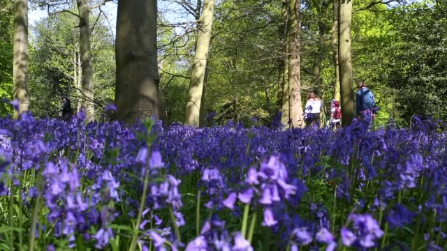 bluebells begin to bloom in chalet wood epping forest on april 14 2020 in london england native english bluebells are a protected species flowering... - tree area stock videos & royalty-free footage
