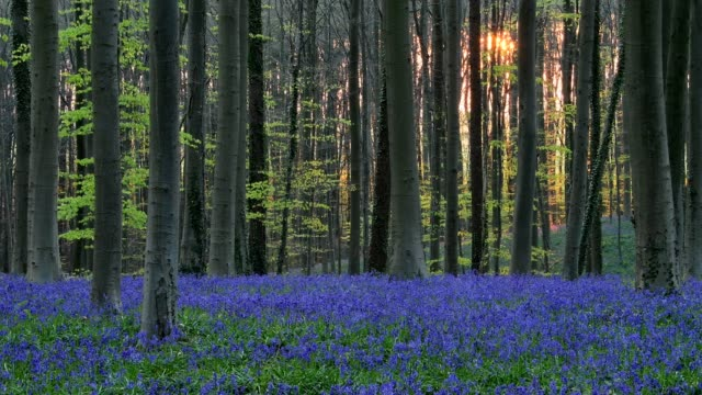 bluebells forest at morning in the spring, hallerbos, halle, vlaams gewest, brussels, belgium, europe - ベルギー点の映像素材/bロール