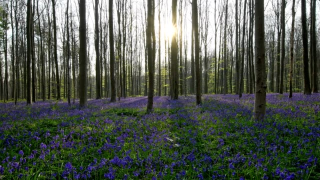 bluebells forest at sunrise in the spring, hallerbos, halle, vlaams gewest, brussels, belgium, europe - ヒヤシンス点の映像素材/bロール