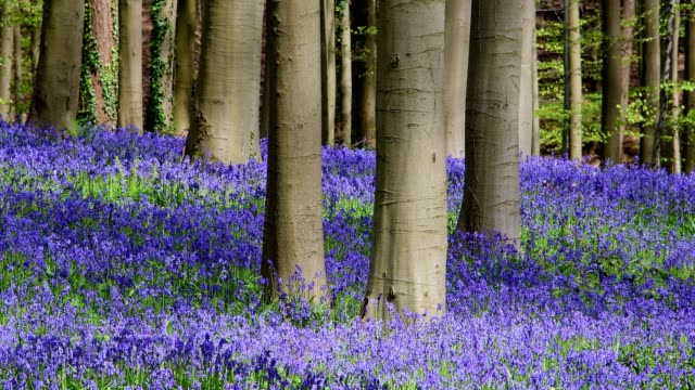 bluebells forest in the spring, hallerbos, halle, vlaams gewest, brussels, belgium, europe - tree trunk stock videos & royalty-free footage