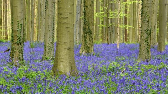 vídeos de stock e filmes b-roll de bluebells forest in the spring, hallerbos, halle, vlaams gewest, brussels, belgium, europe - tronco