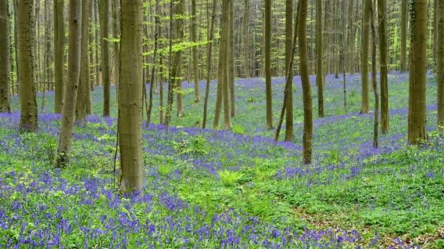 Bluebells forest in the spring, Hallerbos, Halle, Vlaams Gewest, Brussels, Belgium, Europe