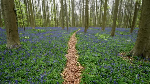 Bluebells forest with path in the spring, Hallerbos, Halle, Vlaams Gewest, Brussels, Belgium, Europe