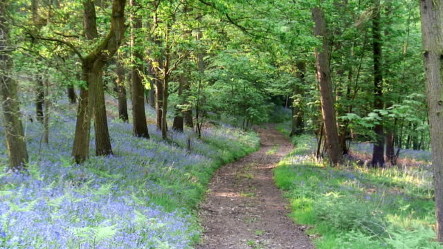 WS Bluebells growing along path through woods / Gloucestershire, England