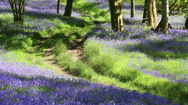 bluebells growing in jiffey knotts woods at brathey, near ambleside in the lake district national park, cumbria, uk. - temperate flower stock videos and b-roll footage