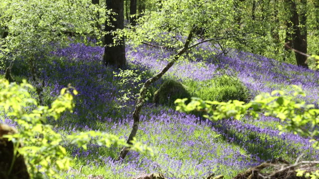 vídeos de stock, filmes e b-roll de bluebells growing in jiffey knotts woods at brathey, near ambleside in the lake district national park, cumbria, uk. - faia árvore de folha caduca