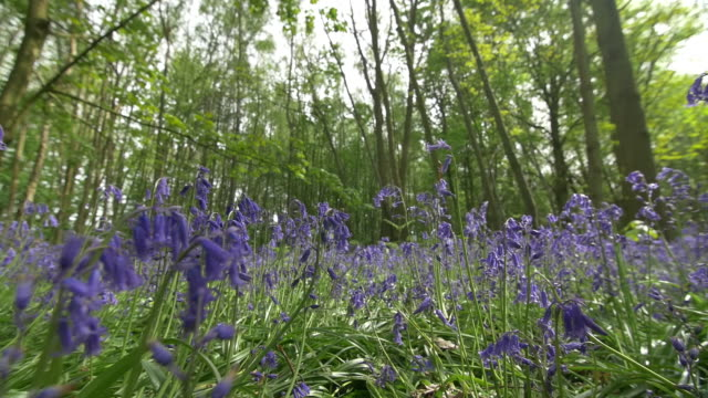 bluebells (hyacinthoides non-scripta) in a sunny clearing, south downs - サウスダウンズ点の映像素材/bロール
