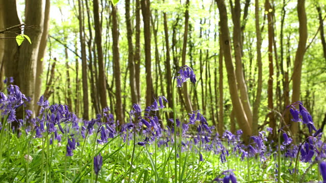 bluebells in a wood, springtime. dolly shot. - beauty in nature stock videos & royalty-free footage