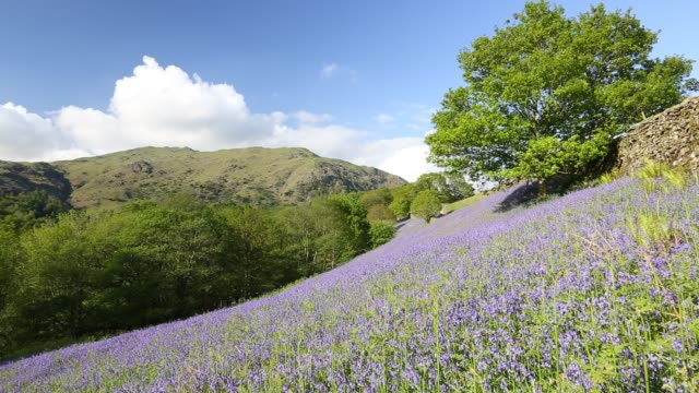 bluebells (hyacinthoides non-scripta ) in a woodland on loughrigg terrace near ambleside, lake district, uk. - wildflower stock videos & royalty-free footage