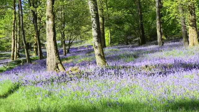bluebells (hyacinthoides non-scripta ) in a woodland on the outskirts of ambleside, lake district, uk. - wildflower stock videos & royalty-free footage