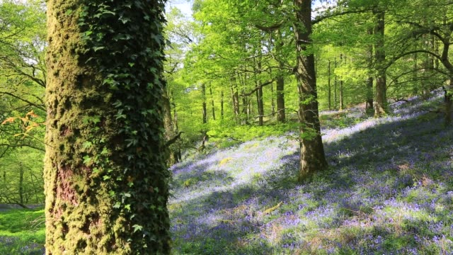 bluebells in fishgarths wood, on loughrigg near ambleside, lake district, uk. - footpath stock videos & royalty-free footage
