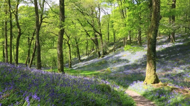 Bluebells in Fishgarths Wood, on Loughrigg near Ambleside, Lake District, UK.
