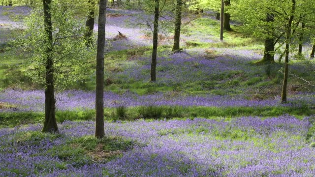 bluebells in jiffy knott woods near ambleside in the english lake district, uk. - wildflower stock videos & royalty-free footage