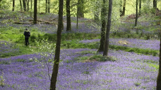bluebells in jiffy knott woods near ambleside in the english lake district, uk, with a photographer. - wildflower stock videos & royalty-free footage