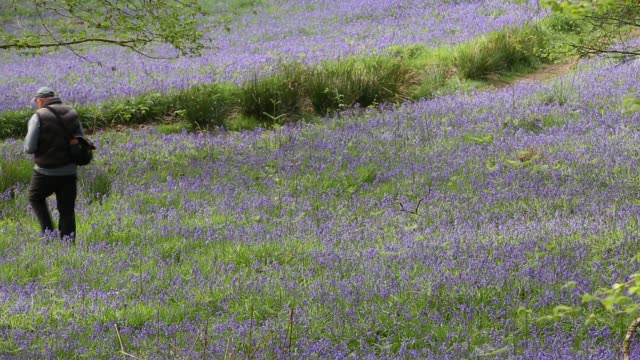 bluebells in jiffy knott woods near ambleside in the english lake district uk with a photographer - wildflower stock videos & royalty-free footage