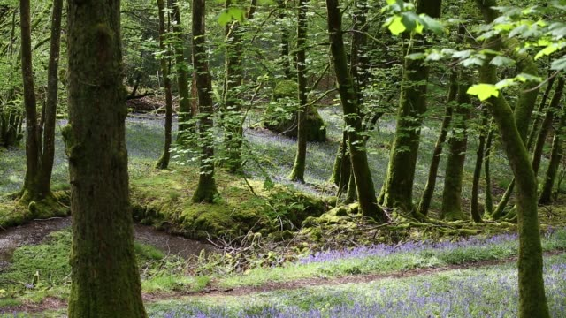 vídeos de stock e filmes b-roll de bluebells in low wood, below high close, near ambleside, lake district, uk. - árvore de folha caduca