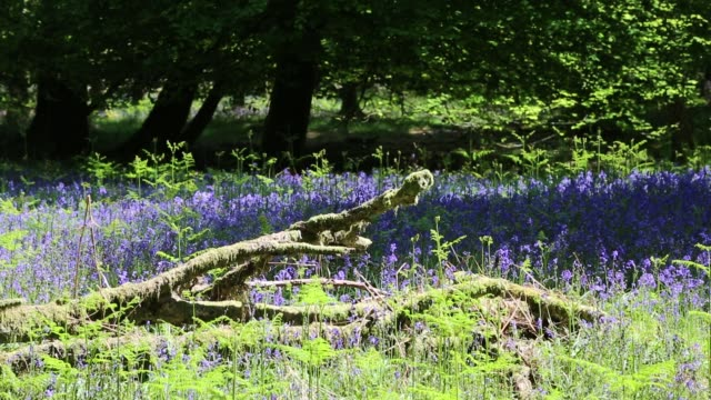 bluebells in woodland near ambleside, lake district, uk. - wildflower stock videos & royalty-free footage